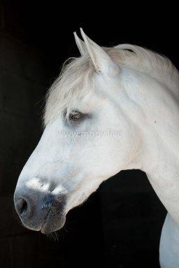 Attitudes chevaux IFCE-5104