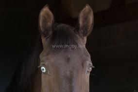 Attitudes chevaux IFCE-8461