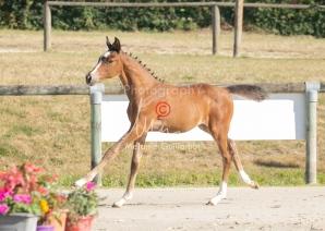 Foal 01 HDP régional 2020-019136