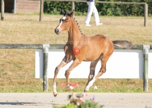 Foal 01 HDP régional 2020-019137