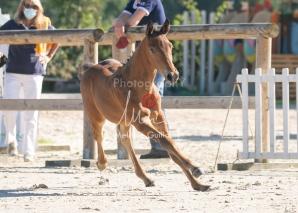 Foal 05 HDP régional 2020-059262