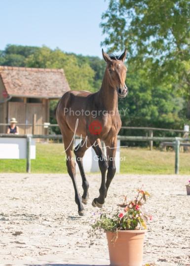 Foal 12 HDP régional 2020-129575
