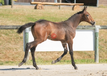 Foal 12 HDP régional 2020-129585