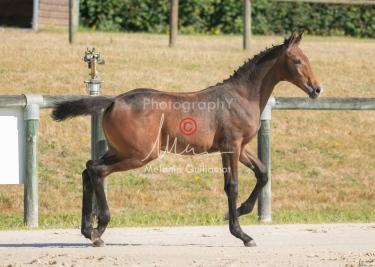 Foal 12 HDP régional 2020-129586