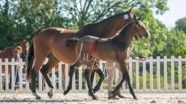 Foal 12 HDP régional 2020-129593