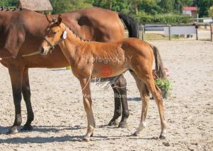 Foal 14 HDP régional 2020-149991