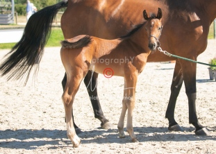 Foal 15 HDP régional 2020-159745