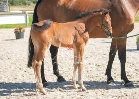 Foal 15 HDP régional 2020-159757