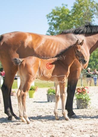 Foal 15 HDP régional 2020-159763