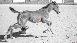 Foal 15 HDP régional 2020-159805-2