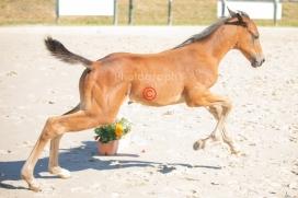 Foal 15 HDP régional 2020-159805