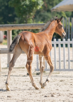 Foal 15 HDP régional 2020-159806
