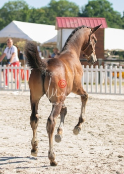 Foal 16 HDP régional 2020-169952