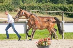 Foal 16 HDP régional 2020-169961