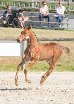 Foal 17 HDP régional 2020-170134