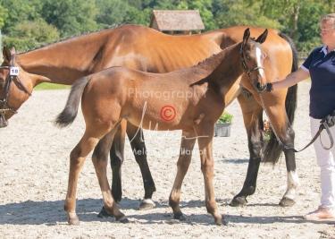 Foal 18 HDP régional 2020-180160