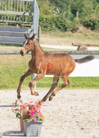Foal 18 HDP régional 2020-180187