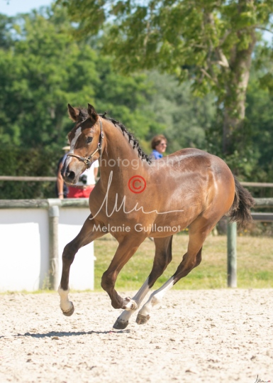 Foal 22 HDP régional 2020-220552