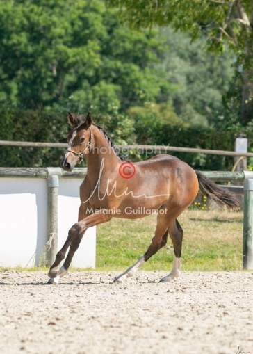 Foal 22 HDP régional 2020-220557