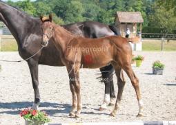 Foal 23 HDP régional 2020-230359