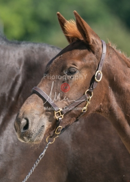 Foal 23 HDP régional 2020-230362
