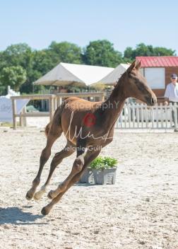 Foal 23 HDP régional 2020-230381