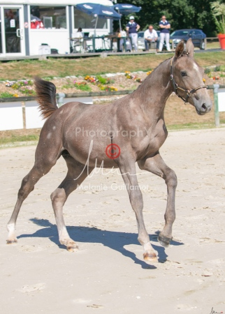 Foal 27 HDP Régional 2020-270932