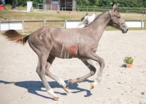 Foal 27 HDP Régional 2020-270938