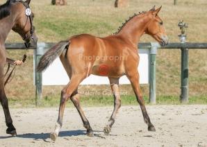 Foal 29 HDP régional 2020-290438