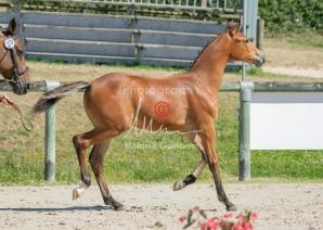 Foal 29 HDP régional 2020-290446
