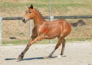 Foal 29 HDP régional 2020-290459