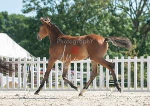 Foal 29 HDP régional 2020-290465
