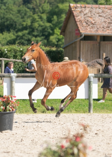 Foal 29 HDP régional 2020-290471