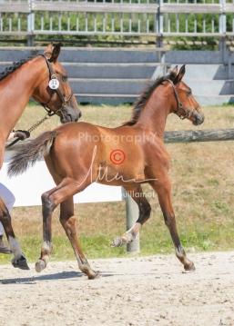 Foal 31 HDP Régional 2020-310986