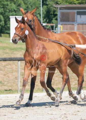 Foal 31 HDP Régional 2020-311024