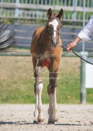 Foal 32 HDP Régional 2020-320747
