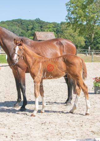 Foal 33 HDP Régional 2020-330819