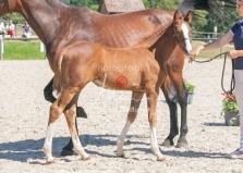Foal 33 HDP Régional 2020-330825