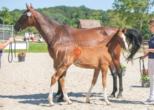 Foal 33 HDP Régional 2020-330826