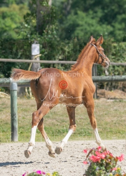 Foal 33 HDP Régional 2020-330838