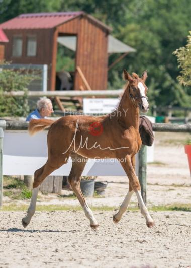 Foal 33 HDP Régional 2020-330839
