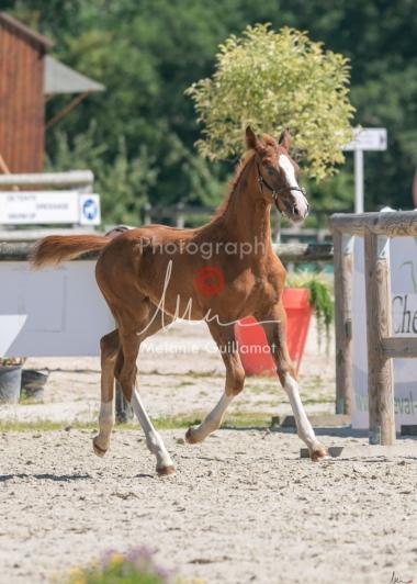 Foal 33 HDP Régional 2020-330840