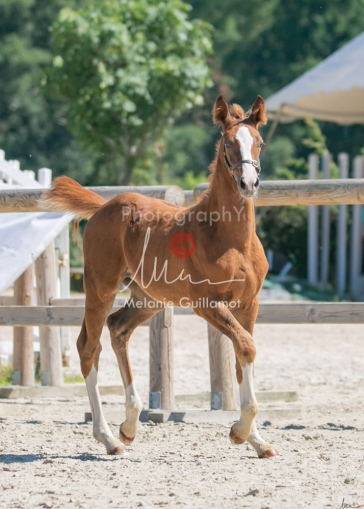 Foal 33 HDP Régional 2020-330855