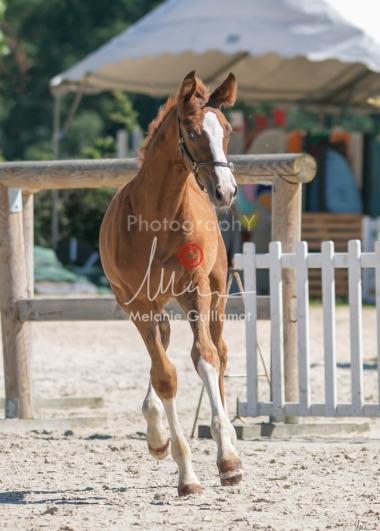 Foal 33 HDP Régional 2020-330856