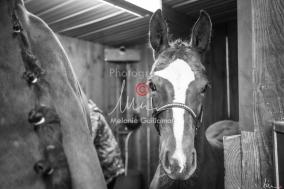 Foal Kalm Vertige d'Altaic-9702