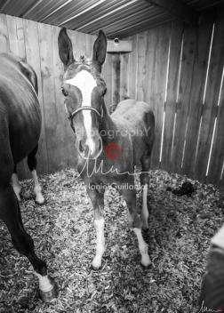 Foal Kalm Vertige d'Altaic-9711