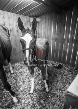Foal Kalm Vertige d'Altaic-9713
