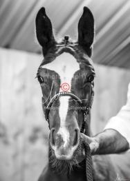 Foal Kalm Vertige d'Altaic-9753
