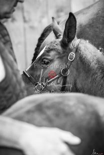 Foal Kalm Vertige d'Altaic-9779