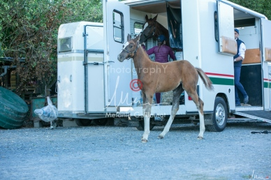 Foal Kalm Vertige d'Altaic-9800